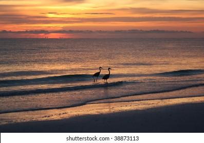 Herons at sunset on Tigertail beach, Marco Island, Florida