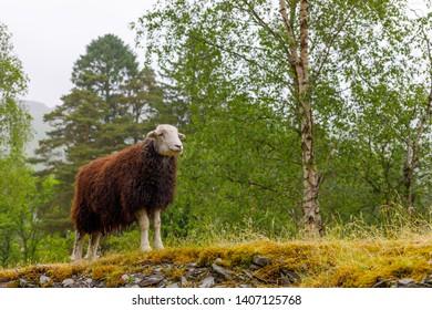 heroric brown sheep on rock eating grass