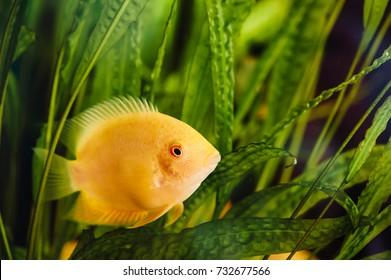 gurami blue fish floats home aquarium stock photo edit now