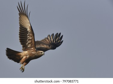 herrier eagle in flight towards pray