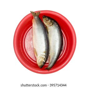 herring fish on a red plastic bowl isolated on white background