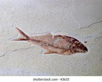 Herring Fossil