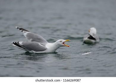 Herring gull are calling, north sea, romsdalsfjord, norway (larus argentatus)