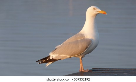 Herring Gull. A common sight on the coastline of Great Britain
