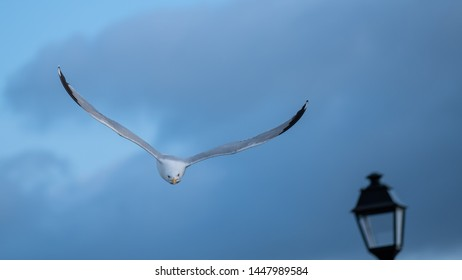 Herring gull diving out of the sky to attack