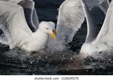 Herring gull fight for food, North Sea, romsdalsfjord, norway (