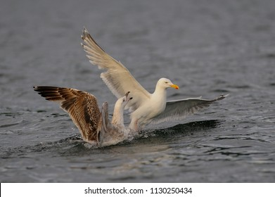 Herring gull fight with a young gull, North Sea, romsdalsfjord, norway