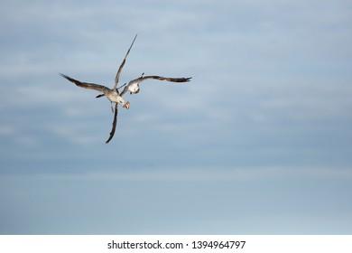 Herring gull fighting for foods