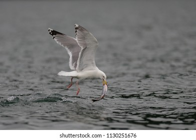 Herring gull with fish in its beak, North Sea, romsdalsfjord, norway