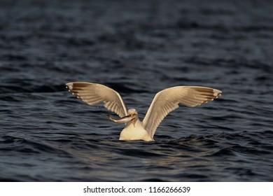 Herring gull with fish in its beak, north sea, romsdalsfjord, norway (larus argentatus)