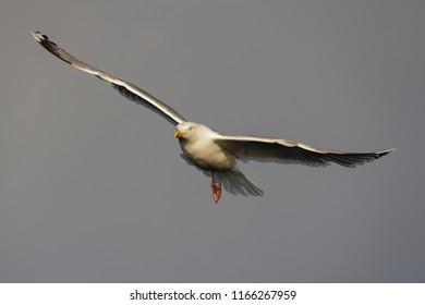 Herring gull flight over the sea, north sea, romsdalsfjord, norway (larus argentatus)
