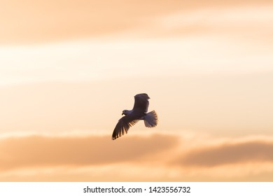 Herring Gull in flight with spread wings by a clolorful sky at sunset