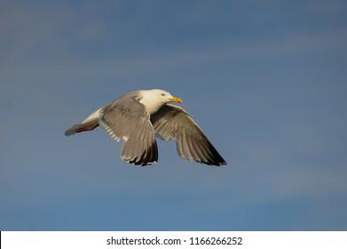 Herring gull flying in the air, north sea, romsdalsfjord, norway (larus argentatus)