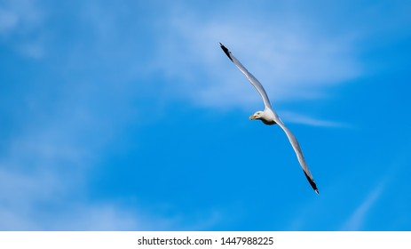 Herring gull flying in a blue sky with wings outstretched