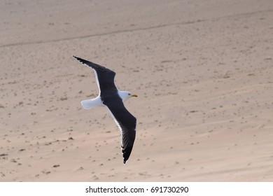 Herring gull flying low over the beach