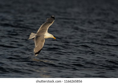 Herring gull flying over the sea, north sea, romsdalsfjord, norway (larus argentatus)