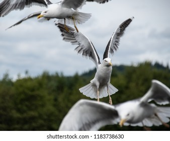 A Herring gull flying within a flock of Gulls