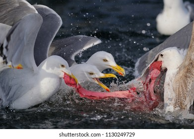 Herring gull group fight for eat the fish, north Sea, romsdalsfjord, norway