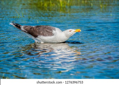 Herring Gull having a drink of water