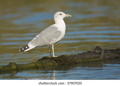 herring gull / Larus argentatus