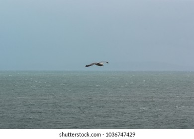A Herring Gull (Larus argentatus) flying over the sea
