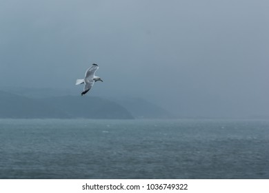 A Herring Gull (Larus argentatus) flying over the sea with a misty coastline behind