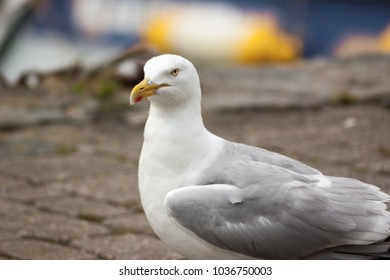 A Herring Gull (Larus argentatus) head and body on stone path