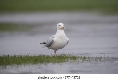 Herring gull, Larus argentatus, on a frozen puddle