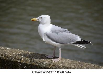 Herring Gull, 'larus argentatus' on harbour wall, Yorkshire, UK