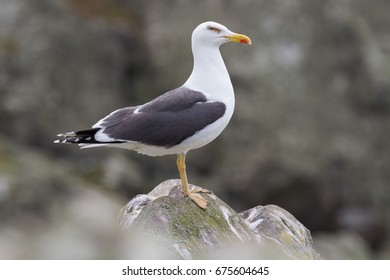 Herring Gull (Larus Argentatus) perched on a rock on Skomer Island, Pembrokeshire, UK