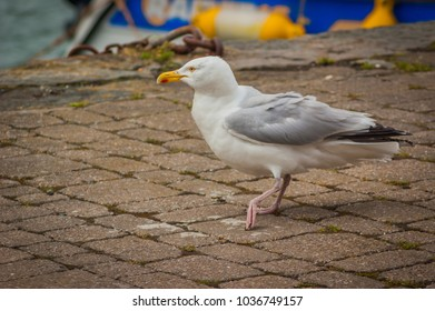 A Herring Gull (Larus argentatus) walking on a stone path