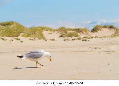 Herring gull on the beach of Amrum on dunes sky background