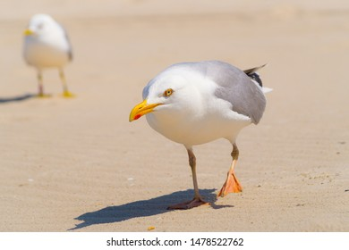 Herring gull on the beach of Amrum