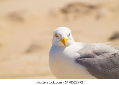 Herring gull on the beach of Amrum Close-Up