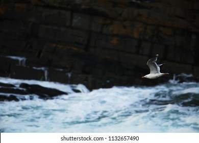 Herring gull over the sea