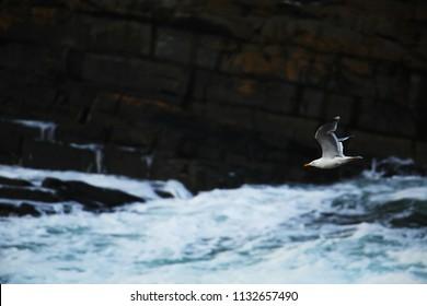 Herring gull over the sea