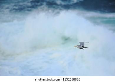 Herring gull over the waves