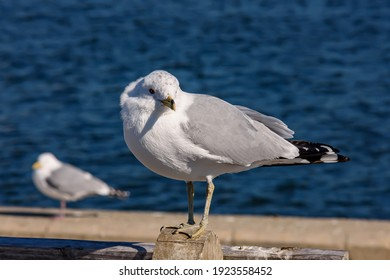 Herring Gull at Point Pleasant Beach, New Jersey