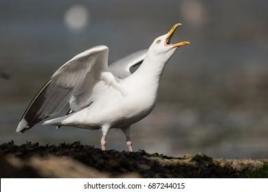 Herring Gull, Sea Gull