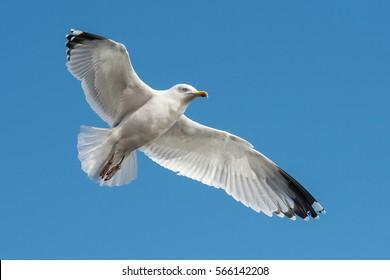 Herring Gull, Sea  Gull, Gull, Birds