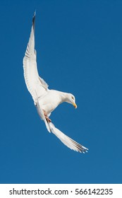 Herring Gull, Sea  Gull, Gull, Birds