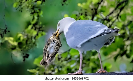 A herring gull seagull with a dead thrush fledgling in his mouth framed by a beautiful out of focus leafy background