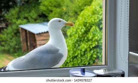 Herring gull (seagull) standing on a kitchen window ledge looking into the kitchen