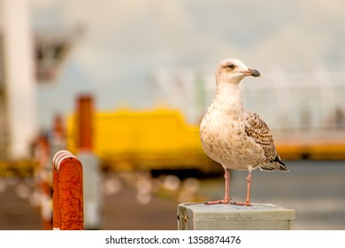 Herring gull seaport in Poland