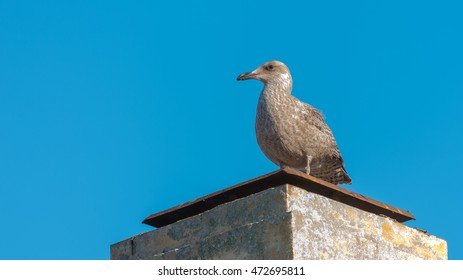 Herring gull sitting on a building looking at the sea