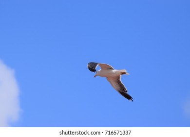 Herring gull, soaring in an almost cloudless summer sky