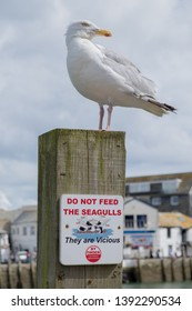 A Herring Gull stands defiantly on a 'Do Not Feed The Seagulls' sign at Looe, Cornwall, England.