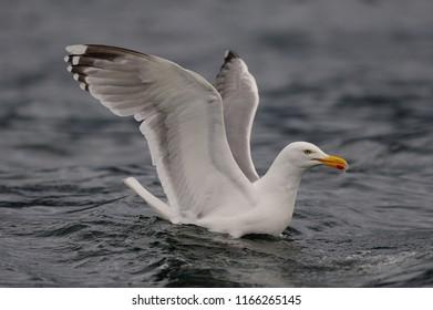 Herring gull swimming on the sea, north sea, romsdalsfjord, norway (larus argentatus)