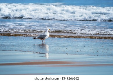 Herring gull watching the surf for something to eat