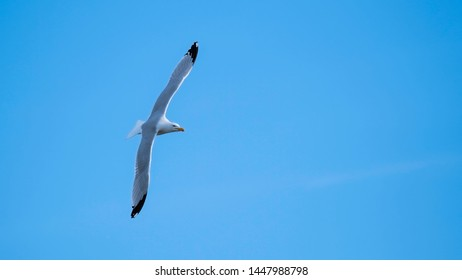 Herring gull wheeling in a blue sky with his wings outstretched showing his plumage